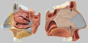 【送料無料】【無料健康相談 対象製品】ソムソ社 鼻腔解剖模型 fs6