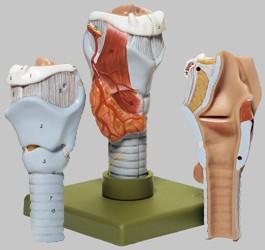 【送料無料】【無料健康相談 対象製品】ソムソ社 喉頭模型 gs3 【smtb-s】 【fsp2124-6m】【02P06Aug16】