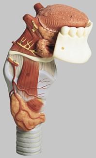 【送料無料】【無料健康相談 対象製品】ソムソ社 舌付喉頭模型 gs4 【smtb-s】 【fsp2124-6m】【02P06Aug16】