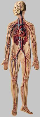 【送料無料】【無料健康相談 対象製品】ソムソ社 血液循環模型 hs10 【smtb-s】 【fsp2124-6m】【02P06Aug16】