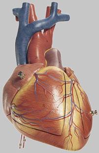 【送料無料】【無料健康相談 対象製品】ソムソ社 胎児の心臓模型 hs24