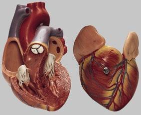 【送料無料】【無料健康相談 対象製品】ソムソ社 心臓模型 hs4