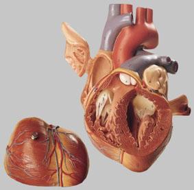 【送料無料】【無料健康相談 対象製品】ソムソ社 心臓模型 hs5 【smtb-s】 【fsp2124-6m】【02P06Aug16】
