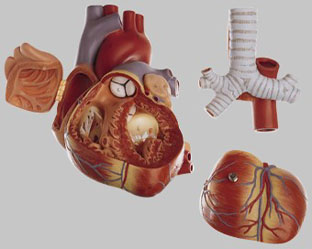 【送料無料】【無料健康相談 対象製品】ソムソ社 心臓模型 hs6 【smtb-s】 【fsp2124-6m】【02P06Aug16】