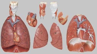 【送料無料】【無料健康相談 対象製品】ソムソ社 肺、心臓、横隔膜、喉頭模型 hs7