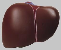 【送料無料】【無料健康相談 対象製品】ソムソ社 肝臓模型 js5 【smtb-s】 【fsp2124-6m】【02P06Aug16】