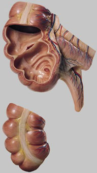 【送料無料】【無料健康相談付】ソムソ社 虫垂と盲腸模型 js7