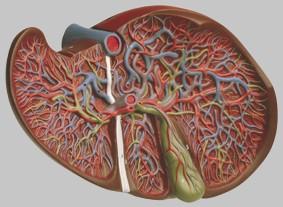 【送料無料】【無料健康相談 対象製品】ソムソ社 肝臓と胆嚢模型 js8 【smtb-s】 【fsp2124-6m】【02P06Aug16】