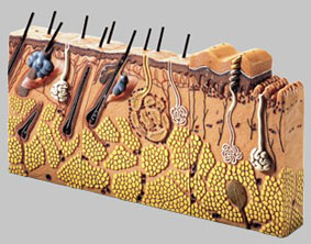 【送料無料】【無料健康相談 対象製品】ソムソ社 皮膚の断面ブロック模型 ks3 【smtb-s】 【fsp2124-6m】【02P06Aug16】