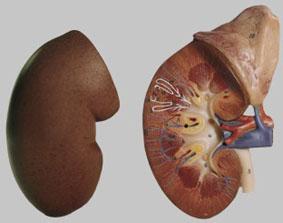 【送料無料】【無料健康相談 対象製品】ソムソ社 右腎臓と副腎模型 ls1 ※受注後6ヶ月程度でお届け予定