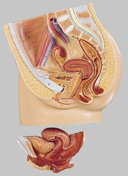 【送料無料】【無料健康相談 対象製品】ソムソ社 女性骨盤の正中断面模型 ms1 【smtb-s】 【fsp2124-6m】【02P06Aug16】