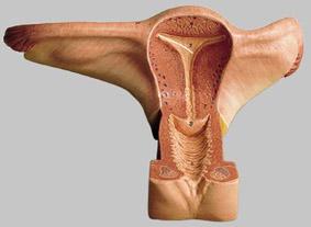 【送料無料】【無料健康相談 対象製品】ソムソ社 女性生殖器模型 ms4 【smtb-s】 【fsp2124-6m】【02P06Aug16】