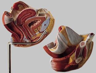 【送料無料】【無料健康相談付】ソムソ社 女性生殖器模型 ms5/1 【smtb-s】 【fsp2124-6m】【02P06Aug16】