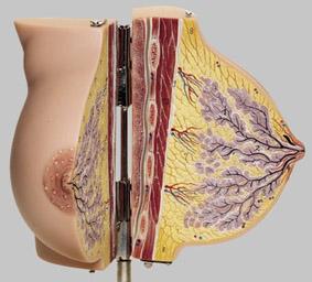【送料無料】【無料健康相談 対象製品】ソムソ社 安静時の乳腺模型 ms7