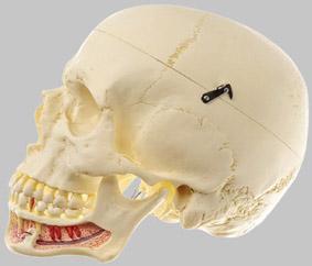 【送料無料】【無料健康相談付】ソムソ社 頭蓋骨分解模型 qs2 【smtb-s】 【fsp2124-6m】【02P06Aug16】