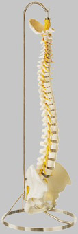【送料無料】【無料健康相談 対象製品】ソムソ社 脊椎骨盤模型(仙骨部一部脱着可) qs21_3sc
