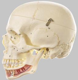 【送料無料】【無料健康相談 対象製品】ソムソ社 頭蓋骨分解模型 qs2_1