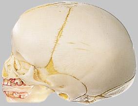 【送料無料】【無料健康相談 対象製品】ソムソ社 胎児の頭蓋骨模型 qs3