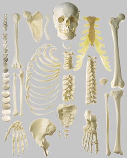 【送料無料】【無料健康相談 対象製品】ソムソ社 骨格分離模型(半身) qs41_1