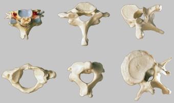 【送料無料】【無料健康相談 対象製品】ソムソ社 脊椎骨と脊髄神経の7点セット qs54 【smtb-s】 【fsp2124-6m】【02P06Aug16】
