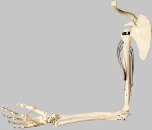 【送料無料】【無料健康相談 対象製品】ソムソ社 上腕骨の筋肉運動模型 qs55 【smtb-s】 【fsp2124-6m】【02P06Aug16】