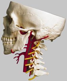 【送料無料】【無料健康相談 qs65_6 対象製品】ソムソ社 動脈付頭蓋底模型