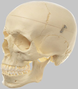 【送料無料】【無料健康相談 対象製品】ソムソ社 頭蓋骨分解模型(3分解) qs7 【smtb-s】 【fsp2124-6m】【02P06Aug16】