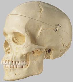 【送料無料】【無料健康相談 対象製品】ソムソ社 女性の頭蓋骨分解模型(3分解) qs7_6