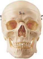 【送料無料】【無料健康相談 対象製品】ソムソ社 頭蓋骨分解模型(9分解) qs7_9e