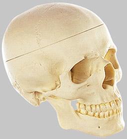 【送料無料】【無料健康相談付】ソムソ社 頭蓋骨分解模型(3分解) qs7_e