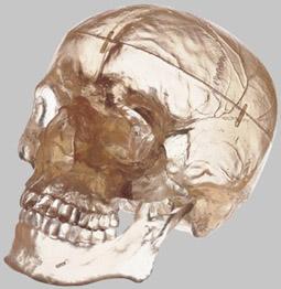 【送料無料】【無料健康相談 対象製品】ソムソ社 頭蓋骨分解模型(3分解) qs7_t
