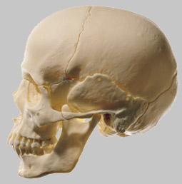 【送料無料】【無料健康相談 対象製品】ソムソ社 頭蓋骨分解模型(18分解) qs8_218