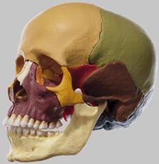 【送料無料】【無料健康相談 対象製品】ソムソ社 頭蓋骨分解模型(14分解、色分) qs8_3 【smtb-s】 【fsp2124-6m】【02P06Aug16】