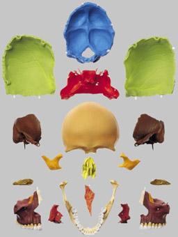 【送料無料】【無料健康相談付】ソムソ社 頭蓋骨分解模型(18分解、マルチカラー) qs8_318