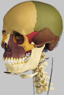 【送料無料】【無料健康相談 対象製品】ソムソ社 頭蓋骨分解模型(14分解、色分 頚椎付) qs8_3c