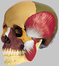 【送料無料】【無料健康相談 対象製品】ソムソ社 頭蓋骨分解模型(14分解、色分 咀嚼筋付) qs8_3m