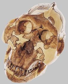 【送料無料】【無料健康相談 対象製品】ソムソ社 猿人頭蓋骨復元模型(オーストラロピテクス・ボイセイ) s1 【smtb-s】 【fsp2124-6m】【02P06Aug16】