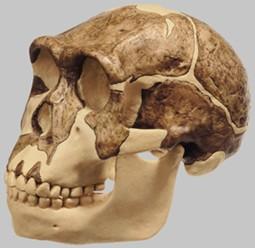 【送料無料】【無料健康相談付】ソムソ社 猿人頭蓋骨復元模型(ホモ・エルガステル) s2/3733
