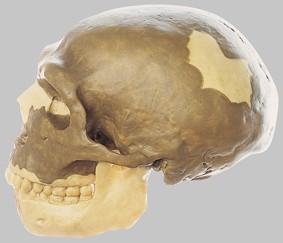 【送料無料】【無料健康相談 対象製品】ソムソ社 旧人頭蓋骨復元模型ホモ・サピエンス・ネアンデルタール) s3 【smtb-s】 【fsp2124-6m】【02P06Aug16】