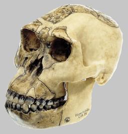 【送料無料】【無料健康相談 対象製品】ソムソ社 猿人頭蓋骨復元模型(ホモ・ハビリス) s3/1 【smtb-s】 【fsp2124-6m】【02P06Aug16】