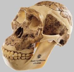 【送料無料】【無料健康相談 対象製品】ソムソ社 猿人頭蓋骨復元模型(オーストラロピテクス・アフリカヌス) s5 【smtb-s】 【fsp2124-6m】【02P06Aug16】