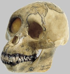 【送料無料】【無料健康相談付】ソムソ社 猿人頭蓋骨復元模(ブロコンサル・アフリカヌス) s5/1