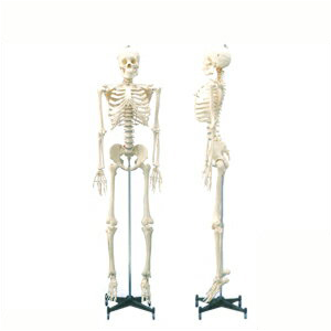 「人体模型」等身大骨格模型可動タイプの等身大の人体全身骨格!【smtb-s】, キッズワンダーランドプラス:1faee5be --- sunward.msk.ru
