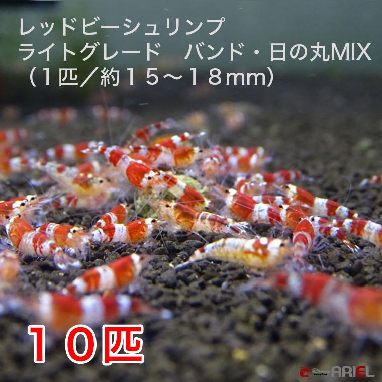 バンドと日の丸タイプのミックス!! レッドビーシュリンプ ライトグレード バンド・日の丸MIX 10匹セット(1匹/15~18mm)死着補償サービス+2匹