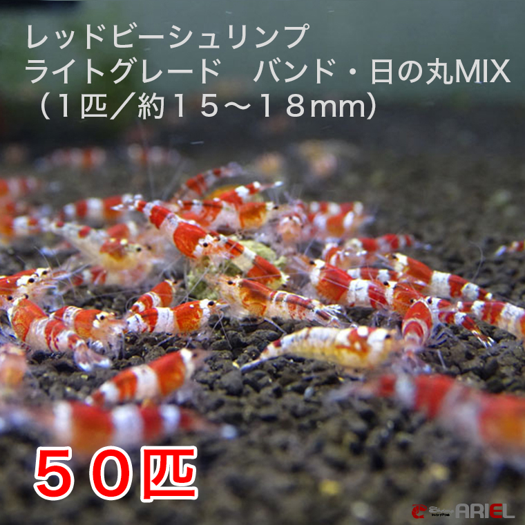 レッドビーシュリンプ ライトグレード バンド・日の丸MIX 50匹セット(1匹/15~18mm)死着補償サービス+5匹