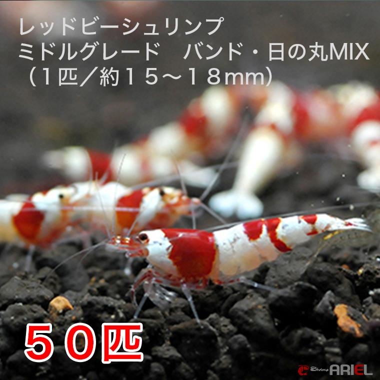 レッドビーシュリンプ ミドルグレード バンド・日の丸MIX 30匹セット(1匹/15~18mm)死着補償サービス+5匹