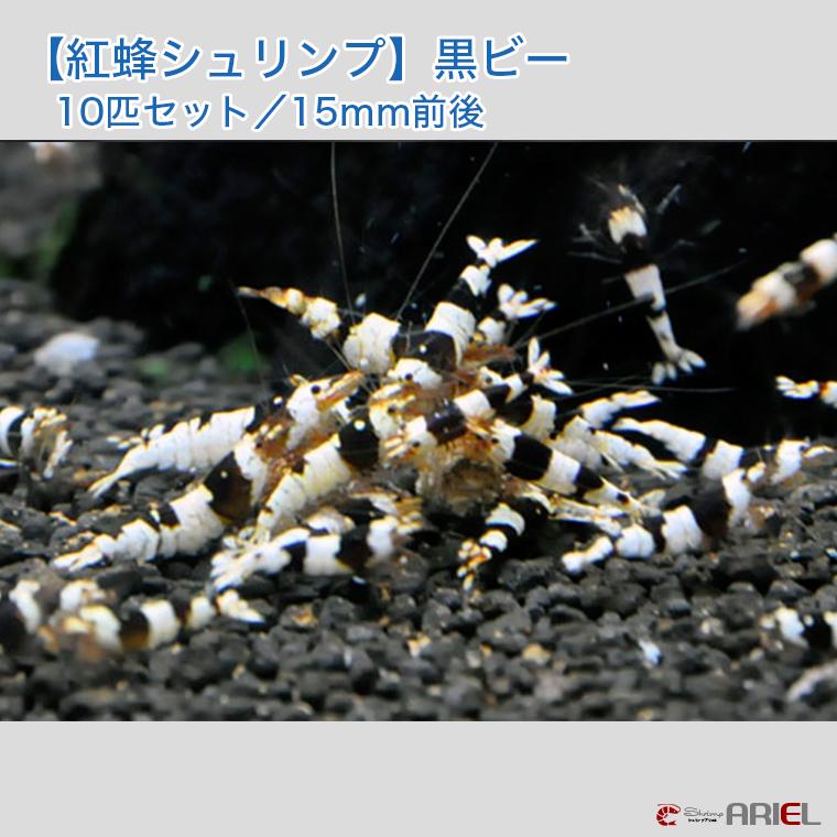 【国内有名ブリーダー】黒ビーシュリンプ 10匹セット(1匹/約14mm)