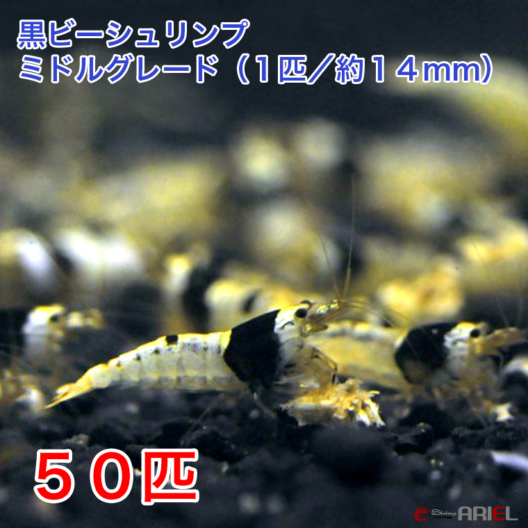 黒ビーシュリンプ ミドルグレード 50匹セット(1匹/約14mm) 死着補償+5匹