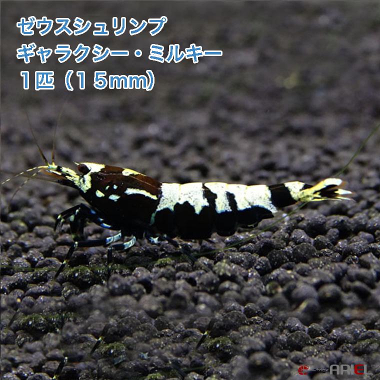 進化系ハイブリッドシュリンプ! ゼウスシュリンプ  ギャラクシー・ミルキー  1匹(1匹/約1.5cm)