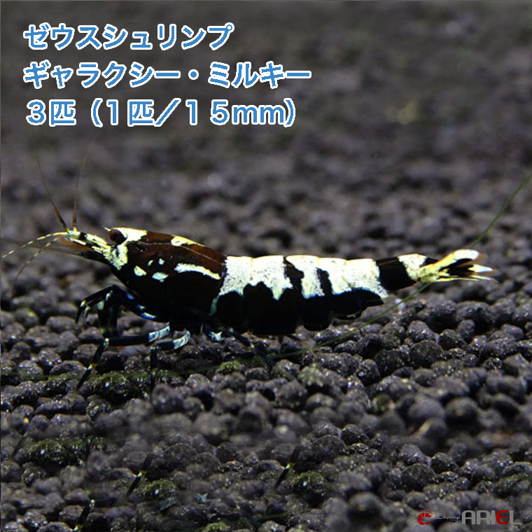 ゼウスシュリンプ  ギャラクシー・ミルキー  3匹(1匹/約1.5cm)